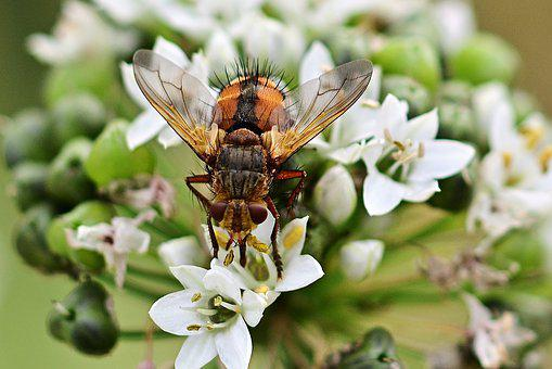 Hoverfly, Blossom, Bloom, Cut Garlic, Close Up