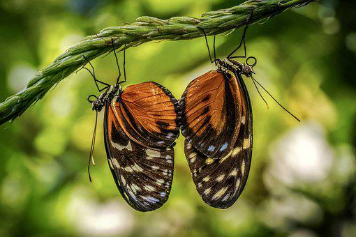Butterflies, Exotic, Pairing, Pair, Butterfly, Two