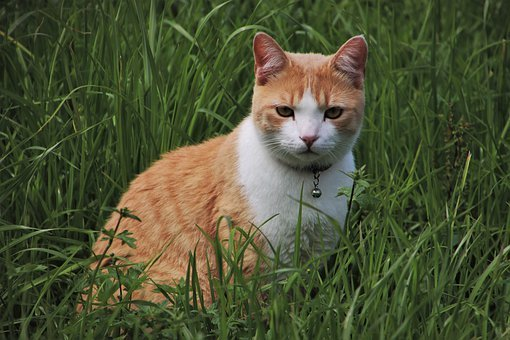 Cat, Rudy, Expression, Look, The Attitude Of The, Grass