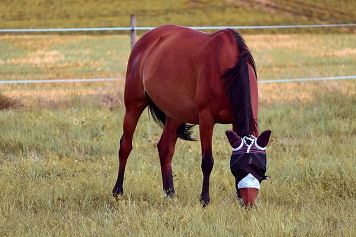Horse, Coupling, Brown, Eat, Pasture, Fly Hood