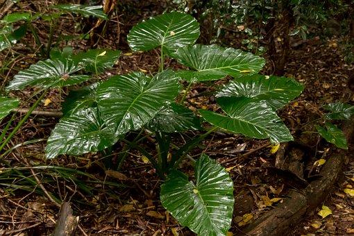 Native Lily, Cunjevoi, Alocasia Brisbanensis, Leaves