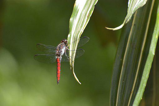 Dragonfly, Insect, Costa Rica, Insects, Dragon-fly