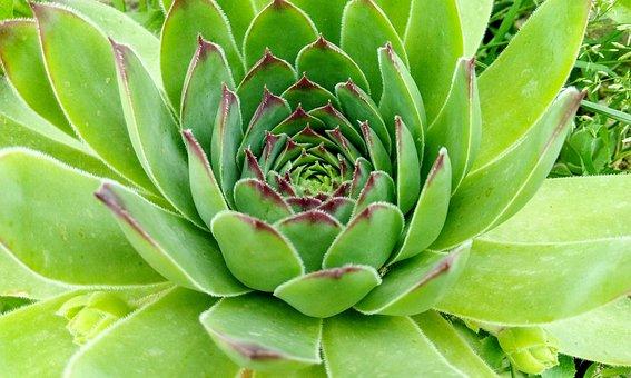 Succulent, Plant, Nature, Green, Garden, Close Up