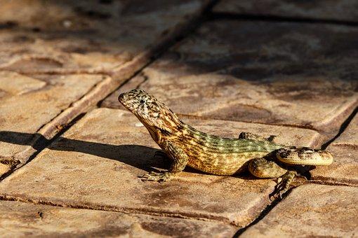 Gecko, Lizard, Reptile, Close Up