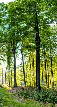Forest, Tree, Nature, Landscape, Trees, Green, Wood