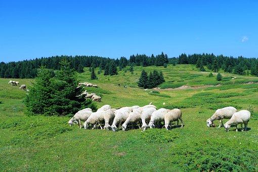 Sheep, Herd, Grassland, Nature, Animal, Mammal, Wool