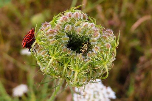 Nature, Plant, Animals, Sheep Sheaf, Inflorescence