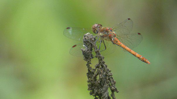 Dragonfly, Dragonflies, Insect, Macro, Nature, Wing