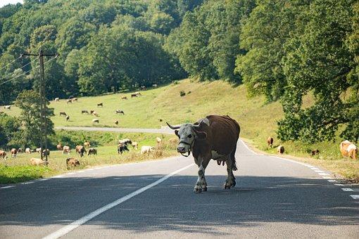 Cows, Pasture, Field, Land, Road, Nature, Landscape