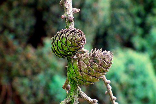 Cones, Larch, Tree, Nature, Sprig, Coniferous, Green