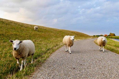 Sheep, Dyke, Wadden Sea, Friesland, Meadow, Grass, Wool