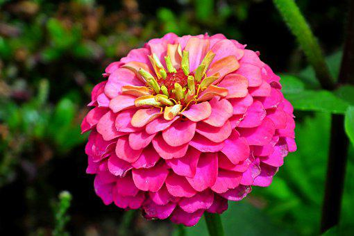 Zinnia, Flower, Garden, Nature, Summer, Colored