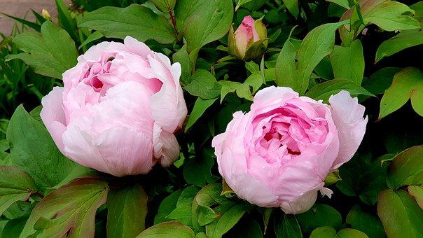 Peony, Pentecost, Spring Flowers, Flower Garden