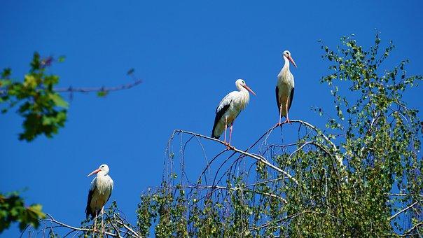 Background, Triplets, Three Storks, Birch, Tree