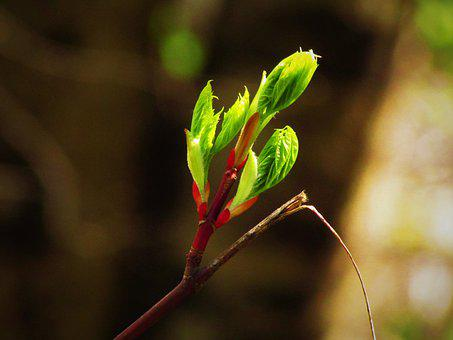Maple Budding, Maple, Tree, Branch, Bud, Nature, Spring