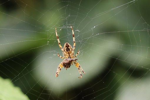 Spider, Web, Cobweb, Insect, Creepy, Case, Nature