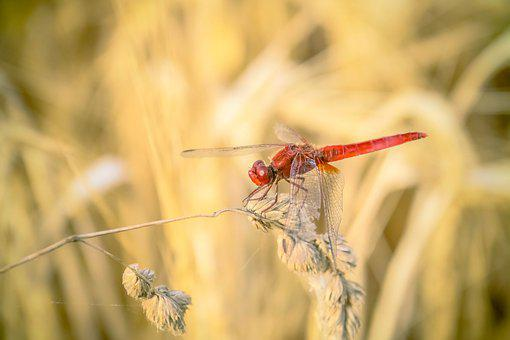 Dragonfly, Red, Insect, Macro, Wheat, Nature, Straw