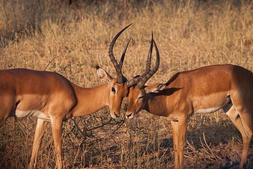 Impala, Antelope, Animal World, Nature, Africa, Animal