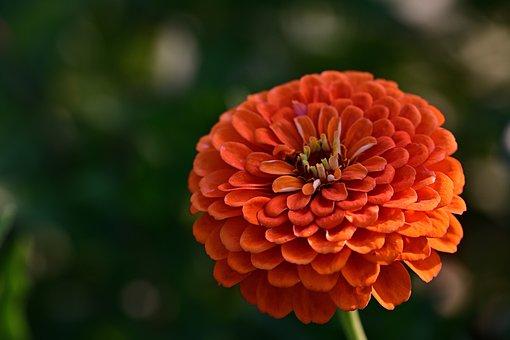 Flower, Blossom, Bloom, Zinnia, Garden, Beauty