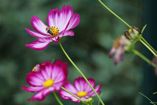 Colorful Zinnia, Blooming, Bee, Flower, Plant, Meadow