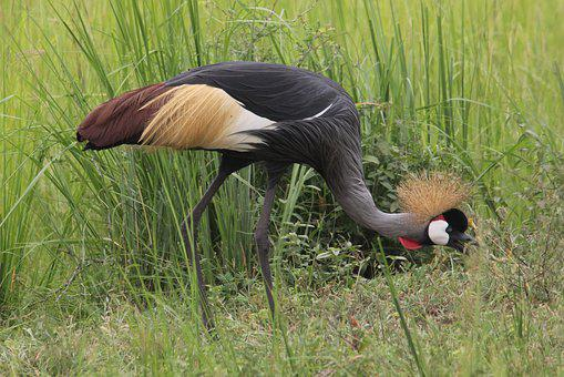 East African Crested Crane, Grey, Crowned, Bird