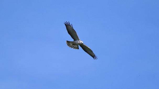 Bird Of Prey, Common Buzzard, Bird, Hunter, Flying