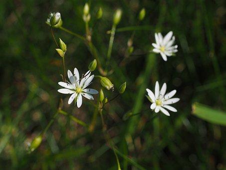 Grass Stitchwort, Blossom, Bloom, Flower, White