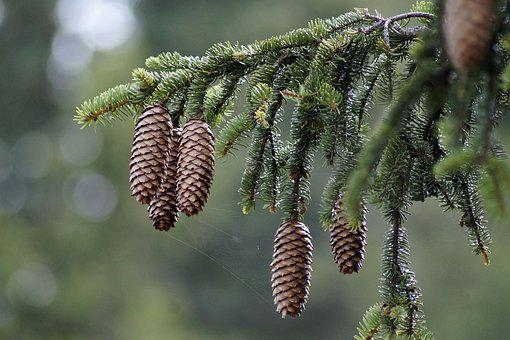 Picea Abies, European Spruce, Needles, Plant, Branch