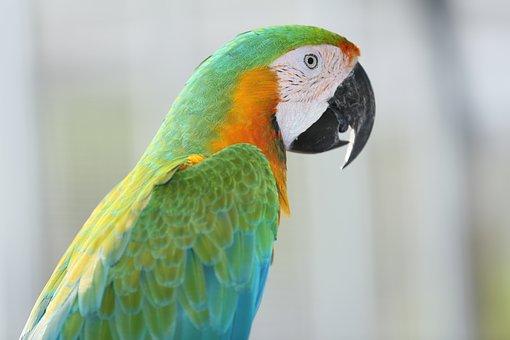 Vẹt, Con Két, Colorful Couple Macaws