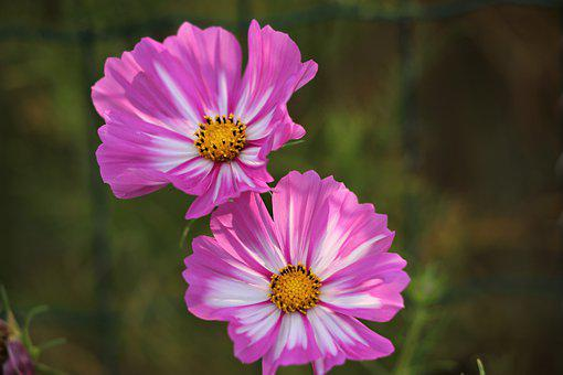 Colorful Zinnia, Blooming, Flower, Plant, Meadow