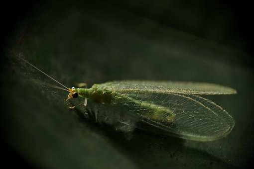 Insects, Lacewing, Green Lacewing Green, Crisópidos