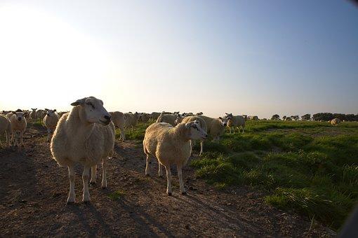 Sheep, Wool, Against Light, Pasture, Evening, Farm