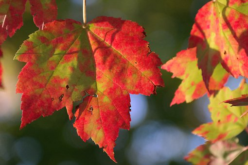 Autumn, Fall Foliage, Red, Green, Maple, Leaf, Forest