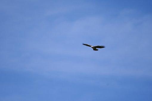 Bird Of Prey, Common Buzzard, Flight, Wings, Hunter