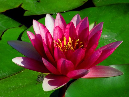 Water Lily, Flower, Flora, Plant, Aquatic, Purple