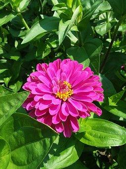 Deep Pink Zinnia, Garden Flower, With Leaves