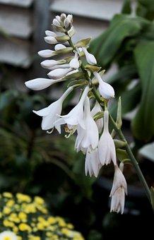 Hosta, Inflorescence, White, Stamens, Garden, Summer