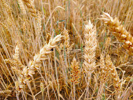 Field, Agriculture, Cereals, Grain, Summer, Crop, Wheat