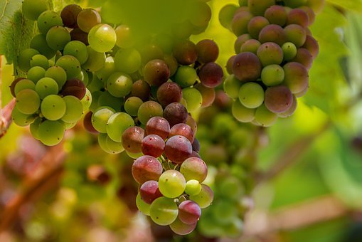 Grapes, Wine, Vines, Fruit, Grapevine, Winegrowing