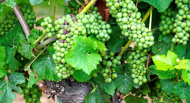 Grapes, Wine, Fruit, Vine, Winegrowing, Rebstock, Vines