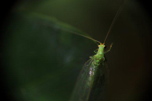 Insect, Lacewing, Green Lacewing Green, Nature