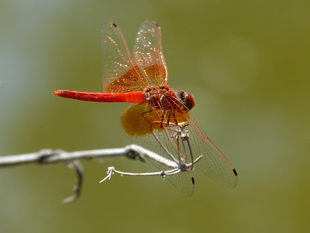 Dragonfly, Red Dragonfly, Erythraea Crocothemis, Light