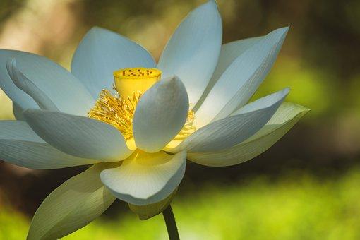 Lotus Flower, White, Summer, Flower, Plant, Bloom