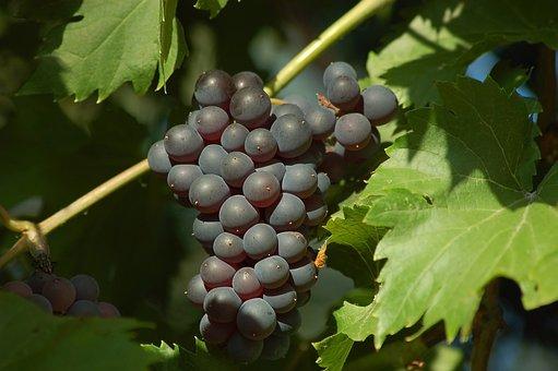Grapes, Loza, Leaves, Black, Sweet, Healthy