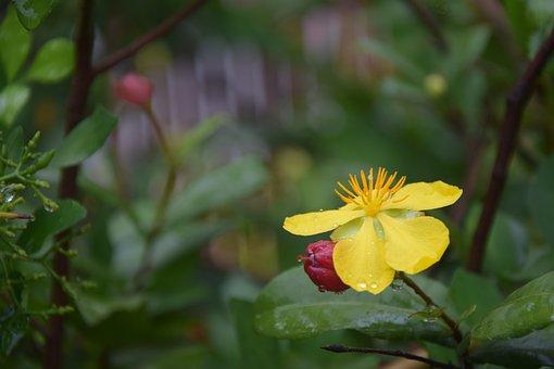 Ochna, Integerrima, Beautiful, Flowers, Yellow, Nature
