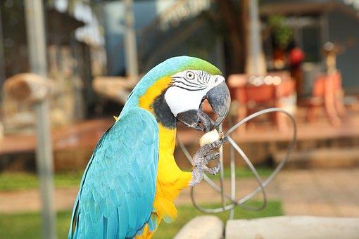 Full Color, Parrots, Parrot, Colorful Couple Macaws