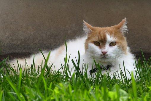 Cat, Portrait, Pet, Ginger, White, Lawn