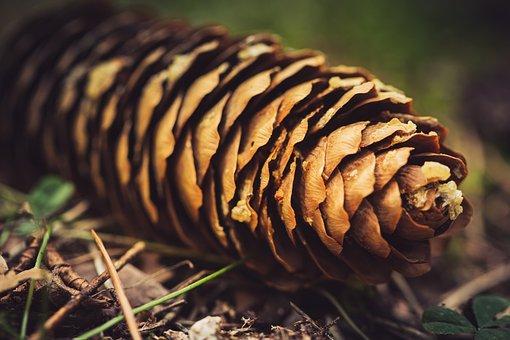 Pine Cones, Forest, Nature, Tap, Tree Cones