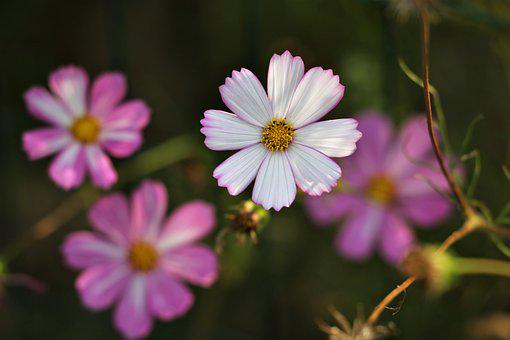 Pink And White Cosmos, Blooming, Flower, Plant, Meadow