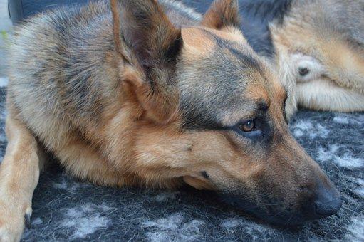 Dog, Shepherd, Animal, Portrait, Head